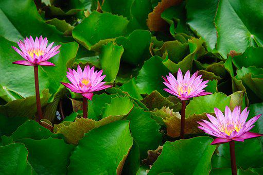 Lotus, Pink, Autumn Leaves, Flowers, Water Plants
