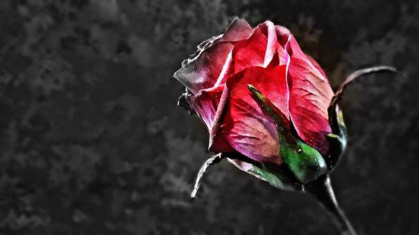 Rose, Flower, Rose Flower, Red Rose, Rosebud