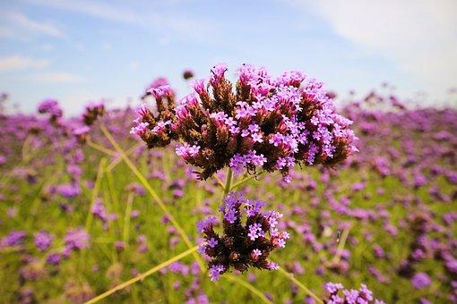 Verbena, Lavender, Flowers, Sea Of Flowers