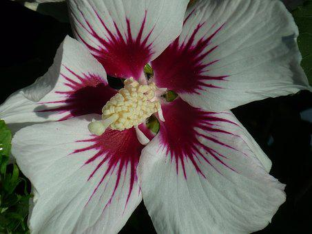 Hibiscus, Flower, Mallow, Blossom, Bloom, White, Inside