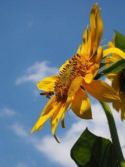 Sun Flower, Pollination, Bee, Nectar, Flower, Blossom