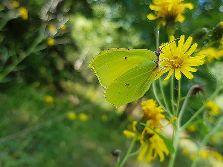 Citronfjäril, Butterfly, Yellow, Plants, Flower