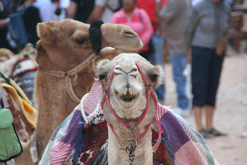 Camel, Petra, Smile