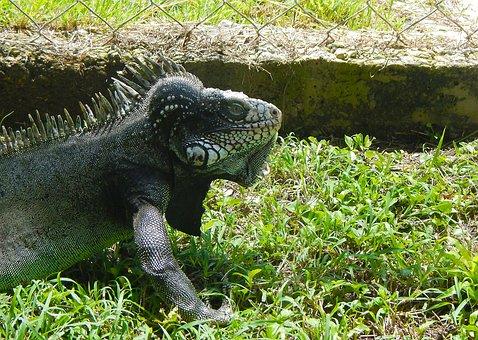 Iguana, Reptile, Dinosaur, Lizard, Animal, Reptiles