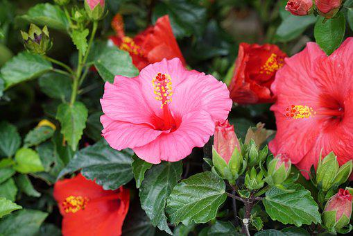 Hibiscus, Tropical, Hibisceae, Floral, Exotic, Malaysia