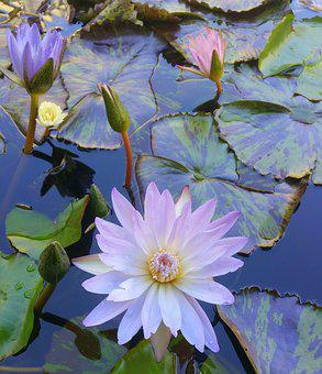 Water Lilies, Flowers, Pink, Pond