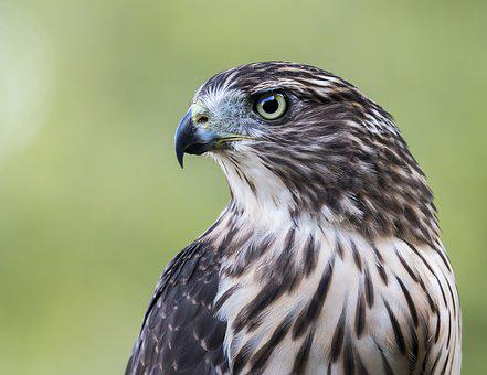 Hawk, Bird, Profile, Nature, Cooper's, Predator