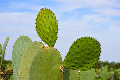 Prickly Pear Cactus, Cactus, Skewers, Desert Plant