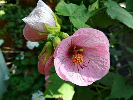 Abutilon, Flower, Bud, Plant, Beautiful Flower, Stamen