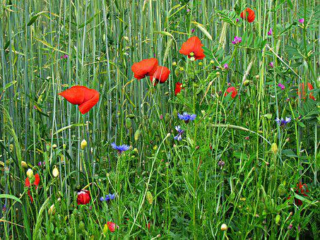 Meadow, Poppies, Flowers, Summer, Nature, Field, Red