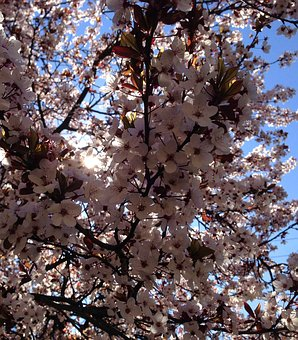 Beautiful Spring, Blooming, Tree, Blossom, Bloom