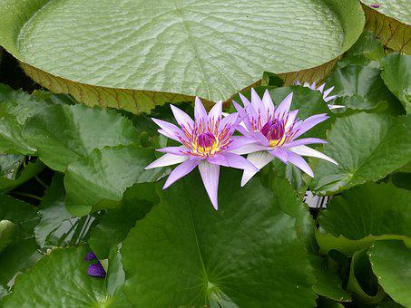 Aquatic Plant, Blossom, Bloom, Beautiful, Water Lily
