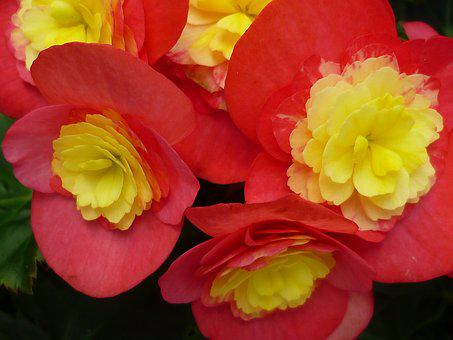Begonia, Flower, Red, Yellow, Traffic Light Plant