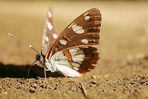 Butterfly, Brown, Wing