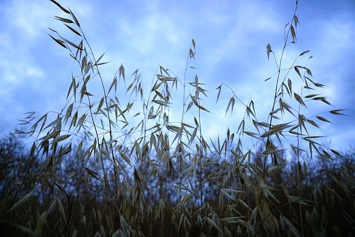 Oats Field, Cereal, Sky, Agriculture, Plant, Nature