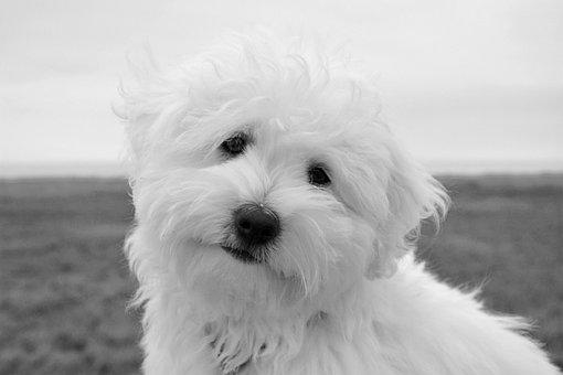 Dog, Puppy, Female Coton Tulear, Animal, Petit, Cute