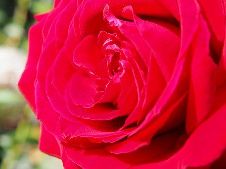 Rose, Red Rose, Blossom, Bloom, Garden, Red, Flower