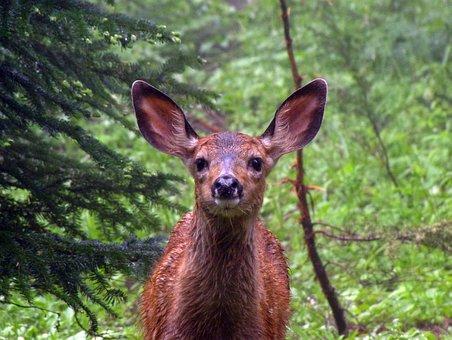 Fawn, Ears, Wet, Yellowstone, Roe Deer, Kitz