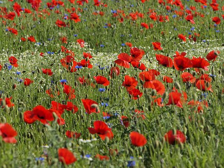 Poppy, Plant, Red Poppy, Klatschmohn, Flower Meadow