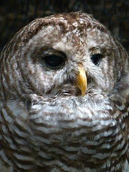 Animals, Owl, Birds