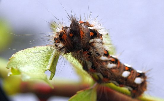 Caterpillar, Insect, Butterfly, Close, Prickly