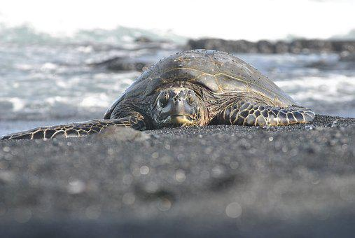 Sea Turtle, Hawaii, Black, Sand, Beach, Ocean, Turtle