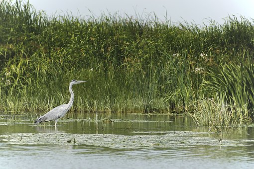 Bird, Wild, Nature, Wildlife, Danube Delta, Water