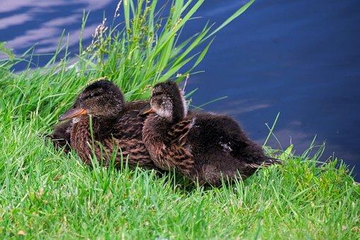 Duck, Kaczęta, Bird, Nature, Water, Water Bird, Lake