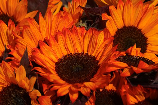 Sunflower, Orange, Yellow, Bloom, Summer, Bright