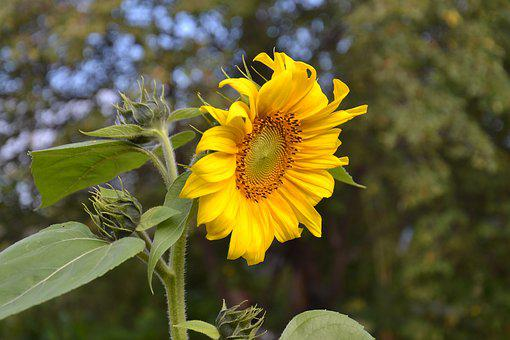 Sunflower, Plant, Flower, Bright, Yellow, Living Nature