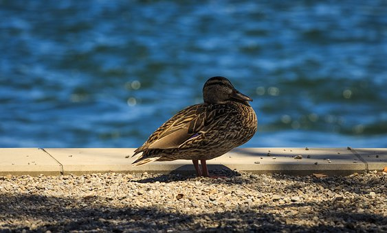 Duck, Lake Constance, Mallard, Waterfowl, Water, Lake