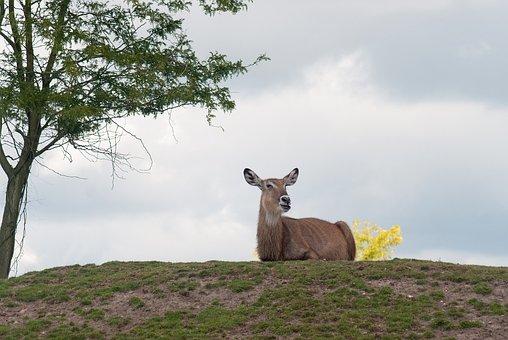 Red Deer, Female, Nature, Tree, Landscape
