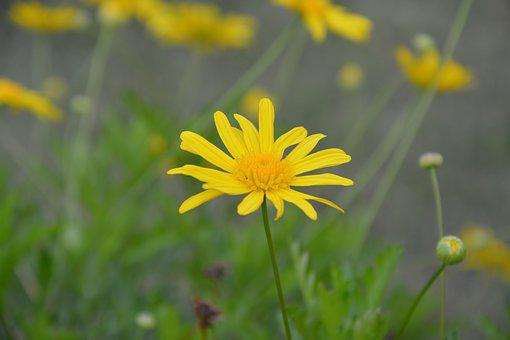 Flower, Yellow Daisy, Nature, Garden, Flowering
