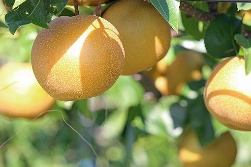 Pear, No, None, Fukushima Prefecture, Fukushima