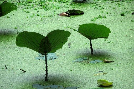 Aquatic Plant, Pond, Green, Nature