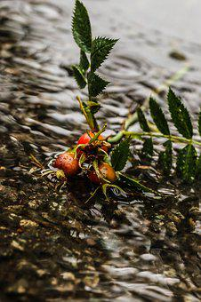 Rose-hip, Herb, Plant, Puddle, Water, Rain