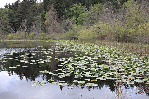 Beautiful, Water, Lilies