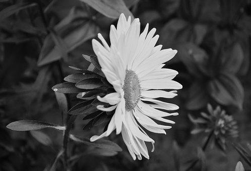 Daisy Flower, Photo Black White, Petals, Nature, Plant