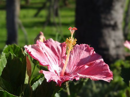Flower, Hibiscus, Rosa, Nature