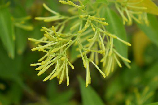 Night-blooming Jasmine, Night-blooming Cestrum