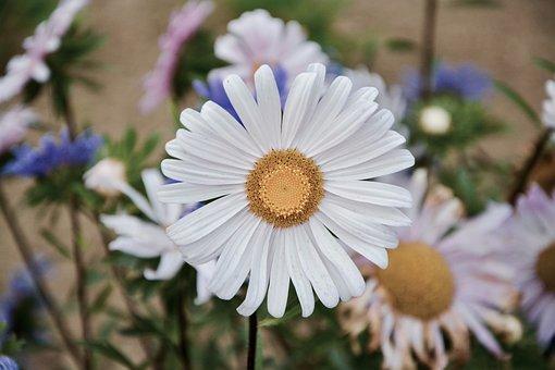 Flowers, Daisies, Petals, Garden, Nature, Flowering
