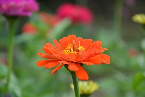 Orange Blossom, Petals, Nature, Orange, Flower, Stamen
