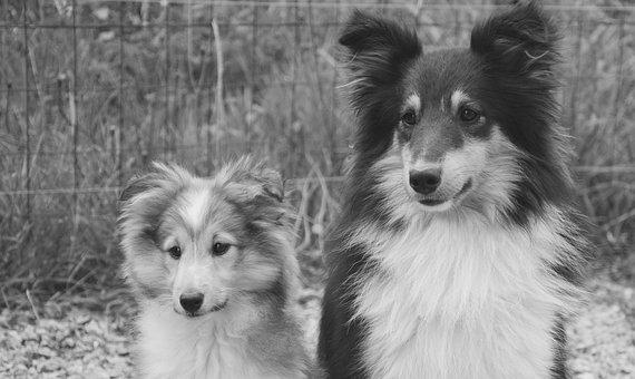 Dog, Dogs, Puppy, Shetland Sheepdog, Male Tricolor