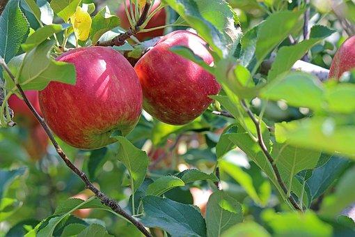 Apple, Ringo, Red, Fukushima Prefecture, Fukushima