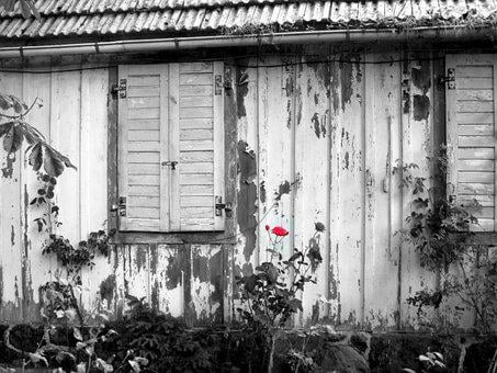 Red Rose, Shed Old, Wood Weathered, Scale, Boards