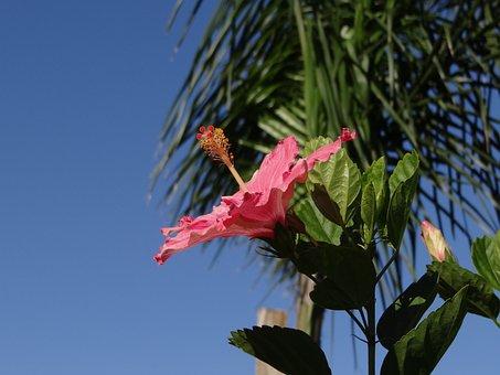 Flower, Hibiscus, Rosa, Nature, Sky