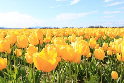 Spring, Yellow, Tulips, Flower, Blossom, Springtime