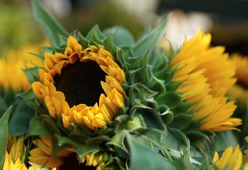 Sunflower, Yellow, Bloom, Summer, Bouquet