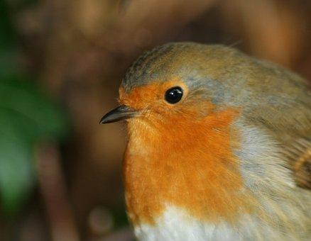 Bird, Robin, Redbreast, Xmas