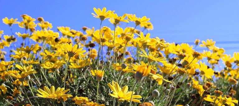 Yellow, Daisy, Flower